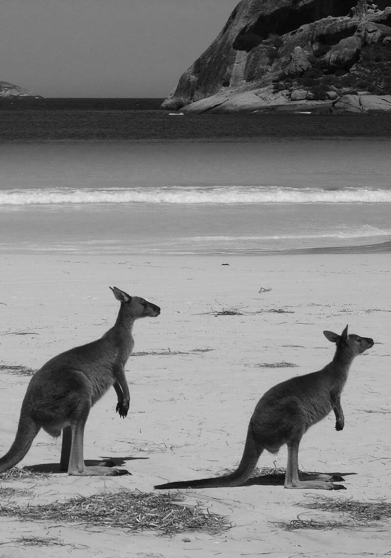 Two kangaroos on the beach